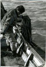 養殖ワカメの採取
