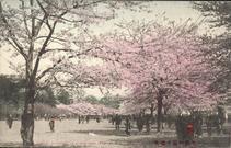 上野公園の桜花 CHERRY BLOSSOMS AT UYENO PARK, TOKYO.