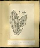 樺太植物図鑑原図 6