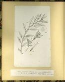 樺太植物図鑑原図 8