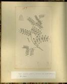 樺太植物図鑑原図 13