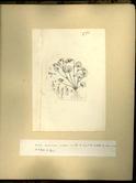 樺太植物図鑑原図 14