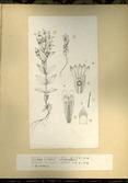 樺太植物図鑑原図 16