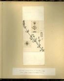 樺太植物図鑑原図 17