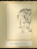 樺太植物図鑑原図 18