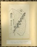 樺太植物図鑑原図 19